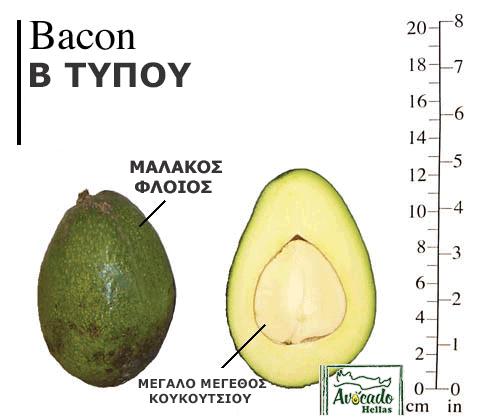 Ποικιλία Αβοκάντο (Avocado) bacon Χανιά Κρητης Ελλάδα. Τιμή 2019, 2020, 2021, 2022