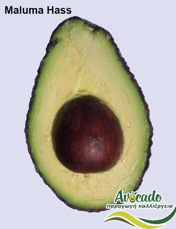 Variety Avocado Maluma Hass