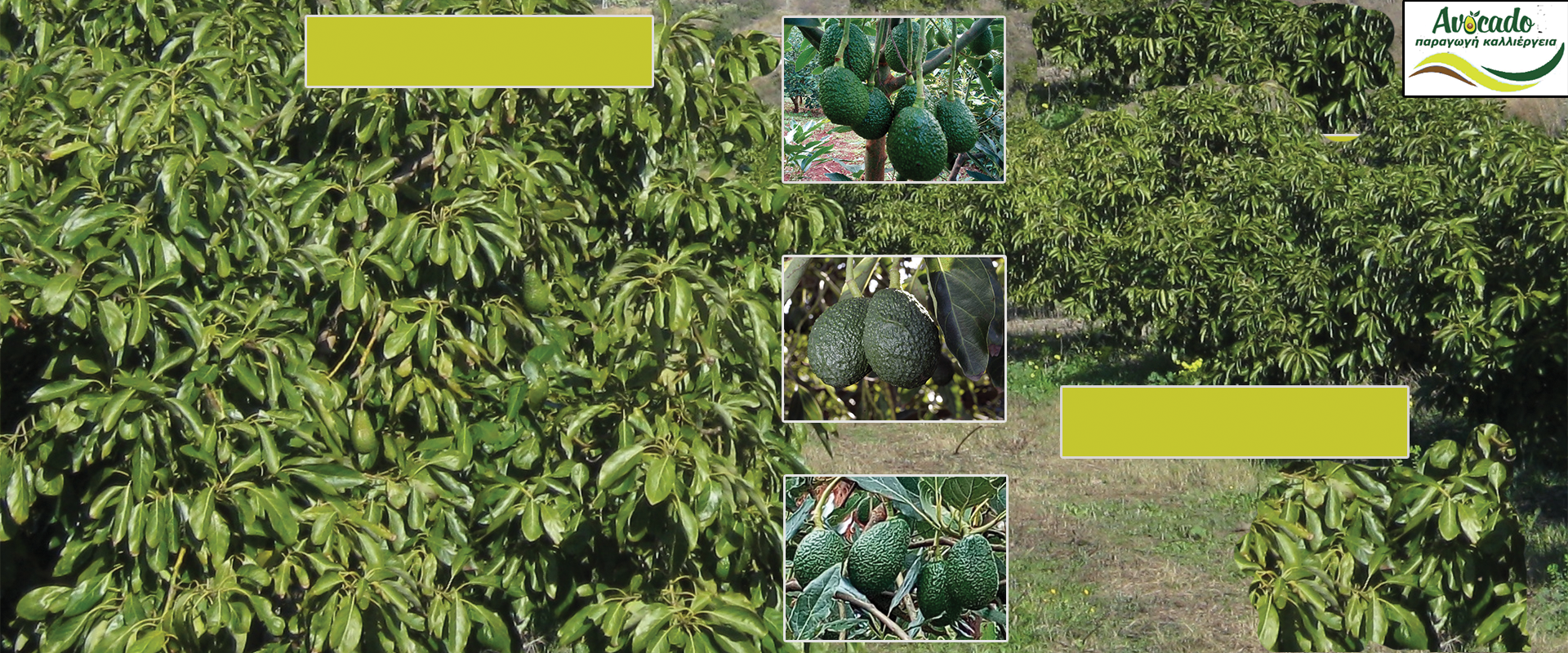 Avocado, Home, avocado nursery europe-Greece