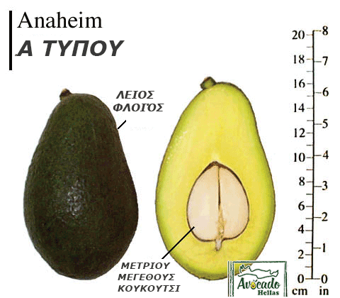 Ποικιλία Αβοκάντο (Avocado) #Anaheim