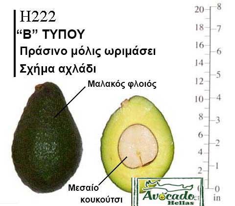 Ποικιλία Αβοκάντο Κρήτης Gem, Ποικιλία Αβοκάντο (Avocado) H222, Avocado-Crete