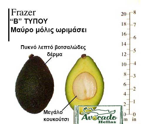 Ποικιλία Αβοκάντο (Avocado) Frazer