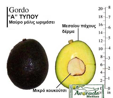 Ποικιλία Αβοκάντο Κρήτης Gordo, Ποικιλία Αβοκάντο (Avocado) Gordo, Αβοκάντο φυτά αγορά