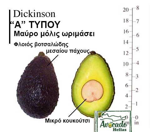 Ποικιλία Αβοκάντο Κρήτης Dickinson, Ποικιλία Αβοκάντο (Avocado) Dickinson, Avocado-Crete