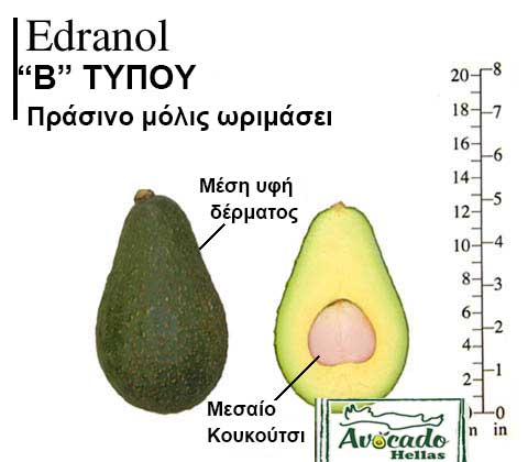 Ποικιλία Αβοκάντο Κρήτης Edranol, Ποικιλία Αβοκάντο (Avocado) Edranol, Avocado-Crete