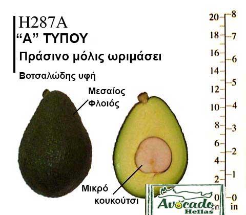 Ποικιλία Αβοκάντο Κρήτης H287A, Ποικιλία Αβοκάντο (Avocado) H287A, Avocado-Crete