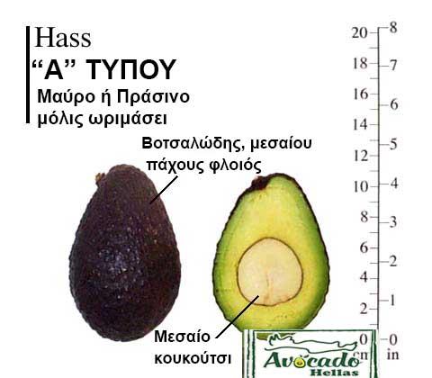 Ποικιλία Αβοκάντο Κρήτης Hass, Ποικιλία Αβοκάντο (Avocado) Hass, Avocado-Crete