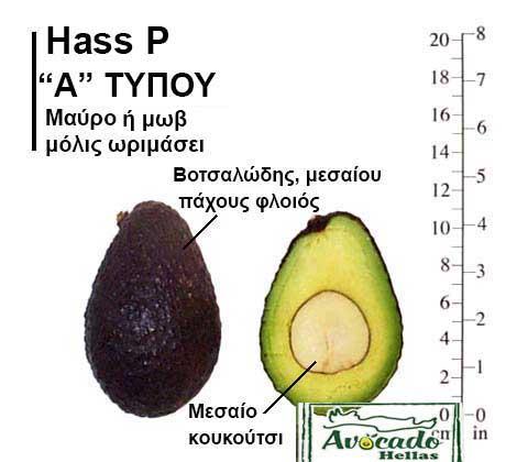 Ποικιλία Αβοκάντο Κρήτης HassP, Ποικιλία Αβοκάντο (Avocado) Hass P, Avocado-Crete