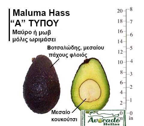 Ποικιλία Αβοκάντο Κρήτης MalumaHass, Ποικιλία Αβοκάντο (Avocado) Maluma Hass, Avocado-Crete
