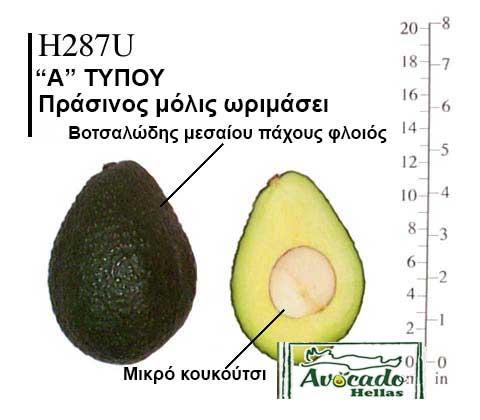 Ποικιλία Αβοκάντο Κρήτης H287U, Ποικιλία Αβοκάντο (Avocado) H287U, Avocado-Crete