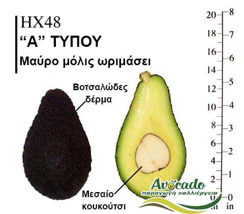 Ποικιλία Αβοκάντο Κρήτης HX48, Ποικιλία Αβοκάντο (Avocado) HX48, Avocado-Crete