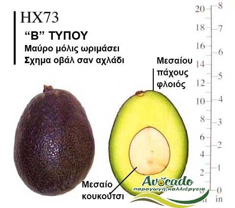 Ποικιλία Αβοκάντο Κρήτης HX73, Ποικιλία Αβοκάντο (Avocado) HX73, Αβοκάντο φυτά αγορά