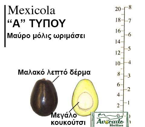Ποικιλία Αβοκάντο Κρήτης Mexicola-chania, Ποικιλία Αβοκάντο (Avocado) Mexicola (Δημοφιλές), Αβοκάντο φυτά αγορά
