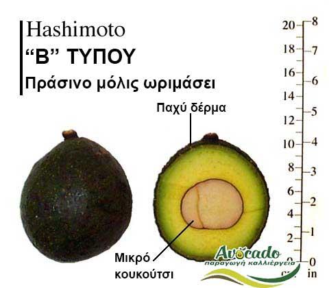 Ποικιλία Αβοκάντο Κρήτης Ηashimoto, Ποικιλία Αβοκάντο (Avocado) Ηashimoto, Αβοκάντο φυτά αγορά