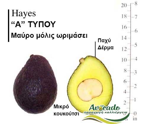 Ποικιλία Αβοκάντο Κρήτης Ηayes, Ποικιλία Αβοκάντο (Avocado) Ηayes, Avocado-Crete