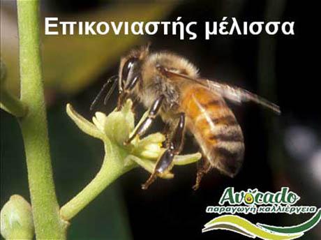 Επικονίαση Αβοκάντο Αρσενικά Θηλυκά, Επικονίαση Αρσενικά θηλυκά άνθη Αβοκάντο φώτο, Αβοκάντο φυτά αγορά