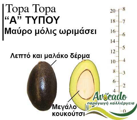 Κέντρισμα (μπόλιασμα) αβοκάντο πληροφορίες, Κέντρισμα (μπόλιασμα) αβοκάντο πληροφορίες, Avocado-Crete