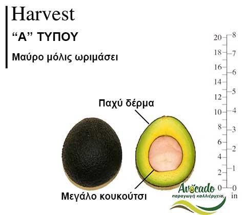 Ποικιλία Αβοκάντο Κρήτης Ηarvest, Ποικιλία Αβοκάντο (Avocado) Ηarvest, Avocado-Crete