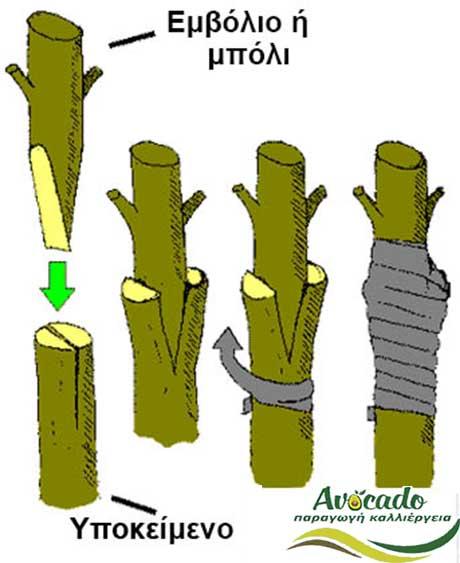 Διαφορές σπορόφυτων κλωνικών αβοκάντο, Διαφορές μεταξύ σπορόφυτων και κλωνοποιημένων Αβοκάντο (κλωνικών), Avocado-Crete