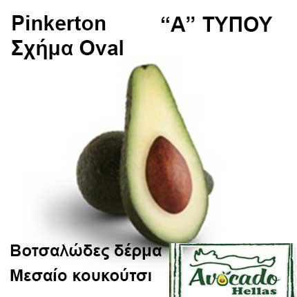 Ποικιλία αβοκάντο Κρήτης Pinkerton, Ποικιλία Αβοκάντο (Avogado) Pinkerton, Avocado-Crete