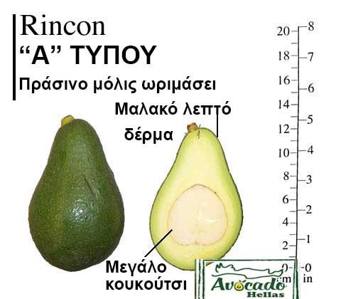 Ποικιλία Αβοκάντο Κρήτης Rincon, Ποικιλία Αβοκάντο (Avocado) Rincon, Avocado-Crete