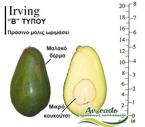 Ποικιλία Αβοκάντο Κρήτης Irving, Ποικιλία Αβοκάντο (Avocado) Irving, Avocado-Crete