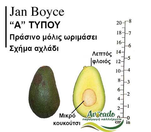 Ποικιλία Αβοκάντο Κρήτης JanBoyce, Ποικιλία Αβοκάντο (Avocado) Jan Boyce, Avocado-Crete