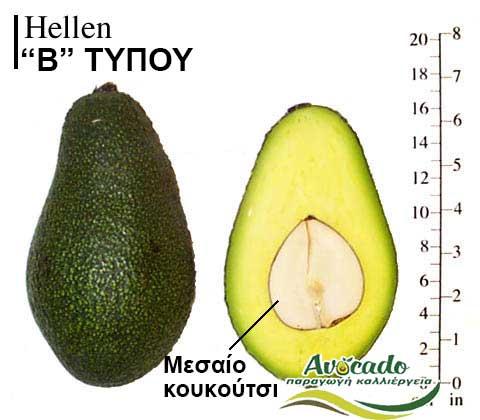Ποικιλία Αβοκάντο Κρήτης Hellen, Ποικιλία Αβοκάντο (Avocado) Hellen, Avocado-Crete