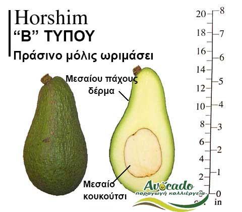 Ποικιλία Αβοκάντο Κρήτης Horshim, Ποικιλία Αβοκάντο (Avocado) Horshim, Avocado-Crete