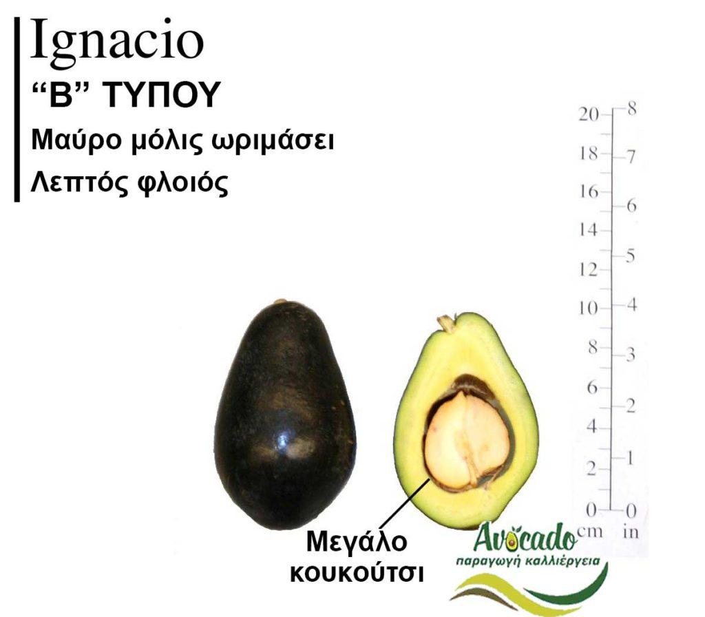 Ποικιλία Αβοκάντο Κρήτης Ignasio, Ποικιλία Αβοκάντο (Avocado) Ignasio, Avocado-Crete