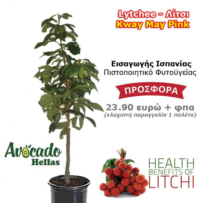 Litchi litchi Kway-May-Pink spanish with a certificate of phytosanitary